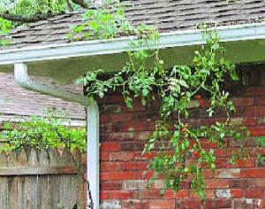 hydroponics tomatoes growing in gutters